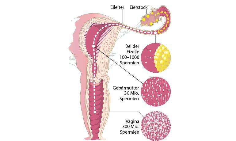 Querschnitt einer Vagina