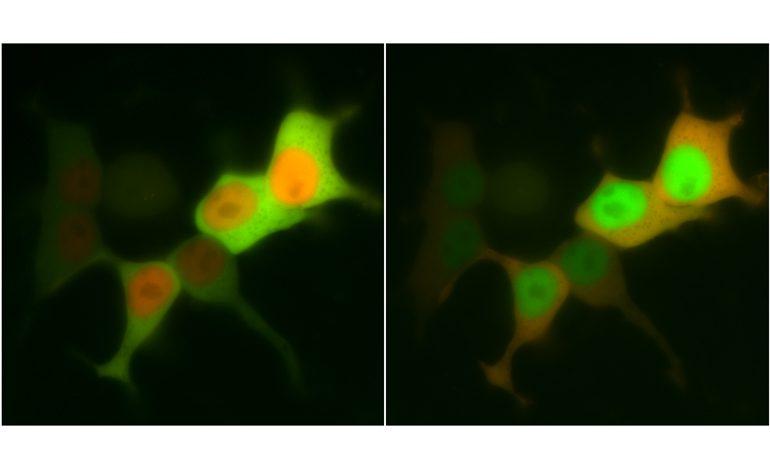 Untrem Mikroskop: Bewegung von Proteinen in einzelnen Zellen