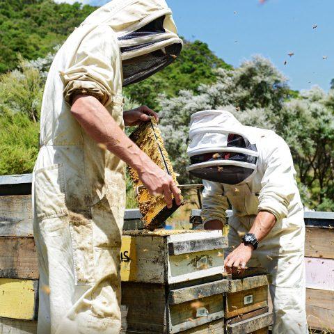 Die Bienen dieser neuseeländischen Imker fliegen vor allem die weiß blühenden Manuka-Pflanzen (Hintergrund) an